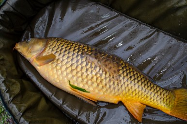 common carp with weird scale pattern
