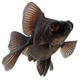 black_moor_goldfish