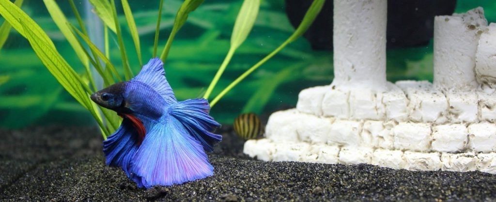 Best betta fish foods to keep your betta healthy 2018 for What to feed betta fish