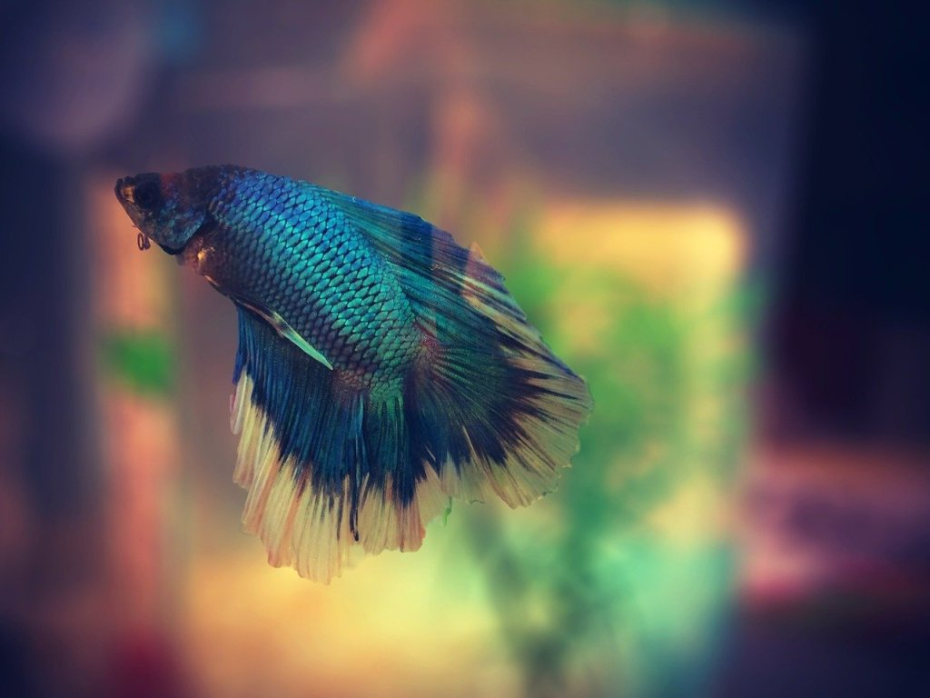 Betta Fish Care Guide • Fish Supply Guide