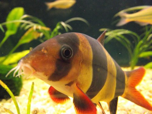 Clown Loach Fish Supply Guide