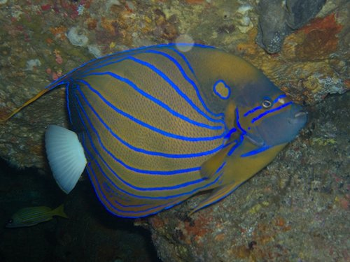 blue ring angelfish 2