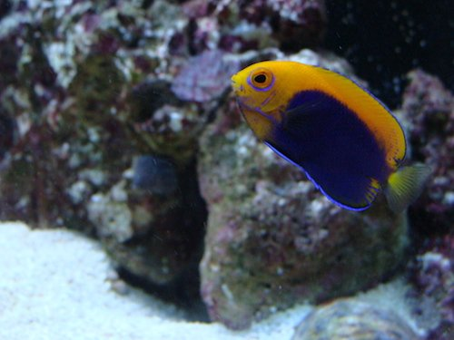 dwarf angelfish 2