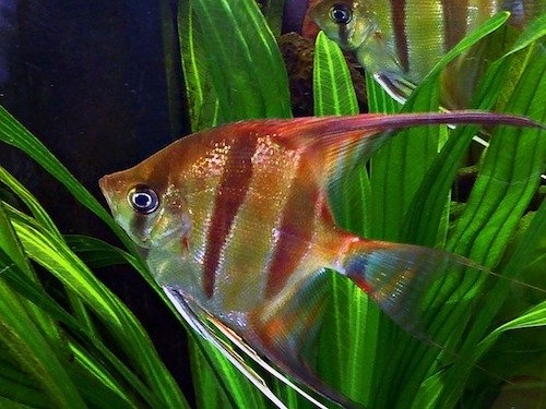 freshwater angelfish 2