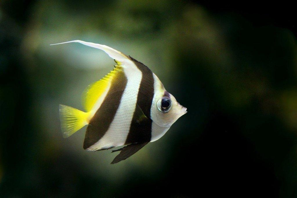 Freshwater angelfish a beautiful tropical fish for Freshwater angel fish