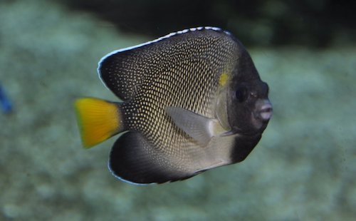 xanthurus angelfish 2