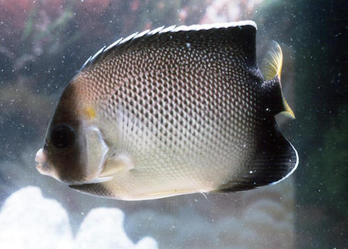 xanthurus angelfish 3