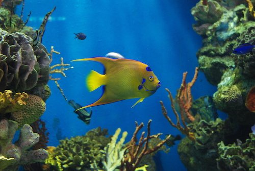 queen angelfish 1