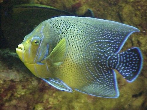 Adult koran angel fish