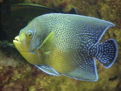 koran angelfish 1