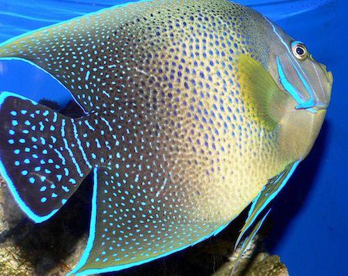 koran angelfish 2