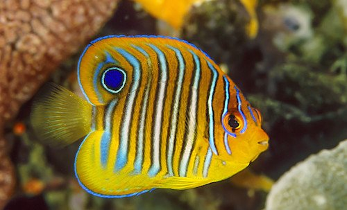 regal angelfish juvenile