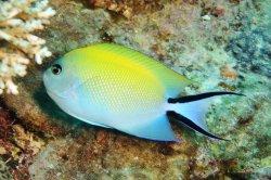 swallowtail angelfish