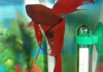 Bright red Betta fish.