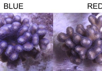 What light for these corals?