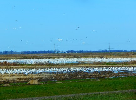 The birds were feeding by the thousands along SR99 in the rice paddies.