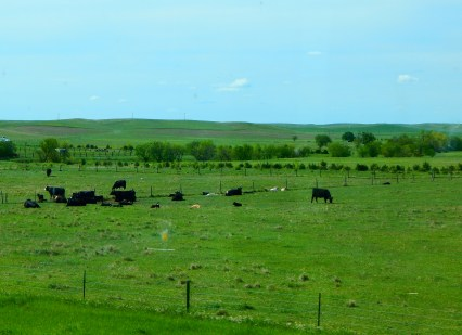 Count the calves in this photo - some cattleman has already had a great calving season.