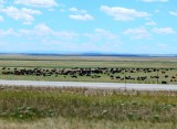 This was about as large a herd of cattle as we've seen outside of a feed lot.