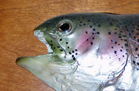 What you get when you cross a trout with a piranha!