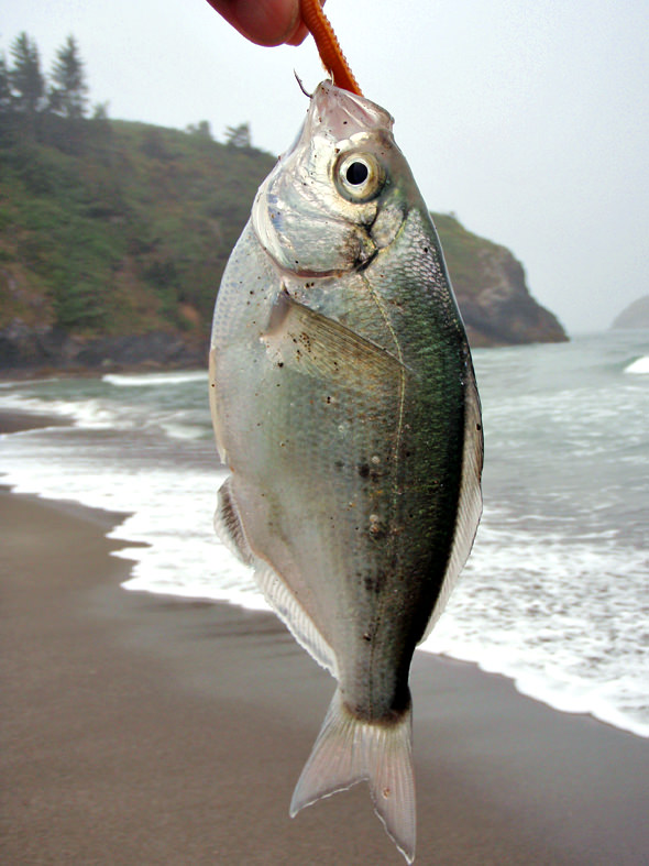 Redtailed surf perch