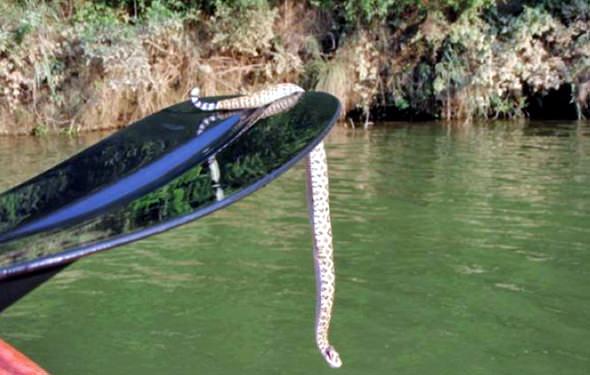 Snake on Paddle