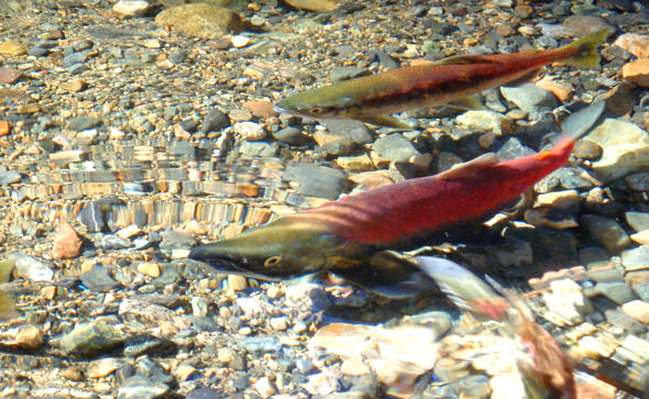 A Spawning Pair
