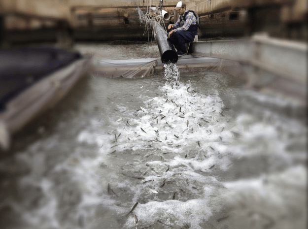 FFC biologist James Walker oversees the offloading of Chinook smolt from the tanker trucks to the net pens. On this day, the pens received approximately half a million fish. The transfer of the fish from the DFW's trucks to the pens takes close to and hour.