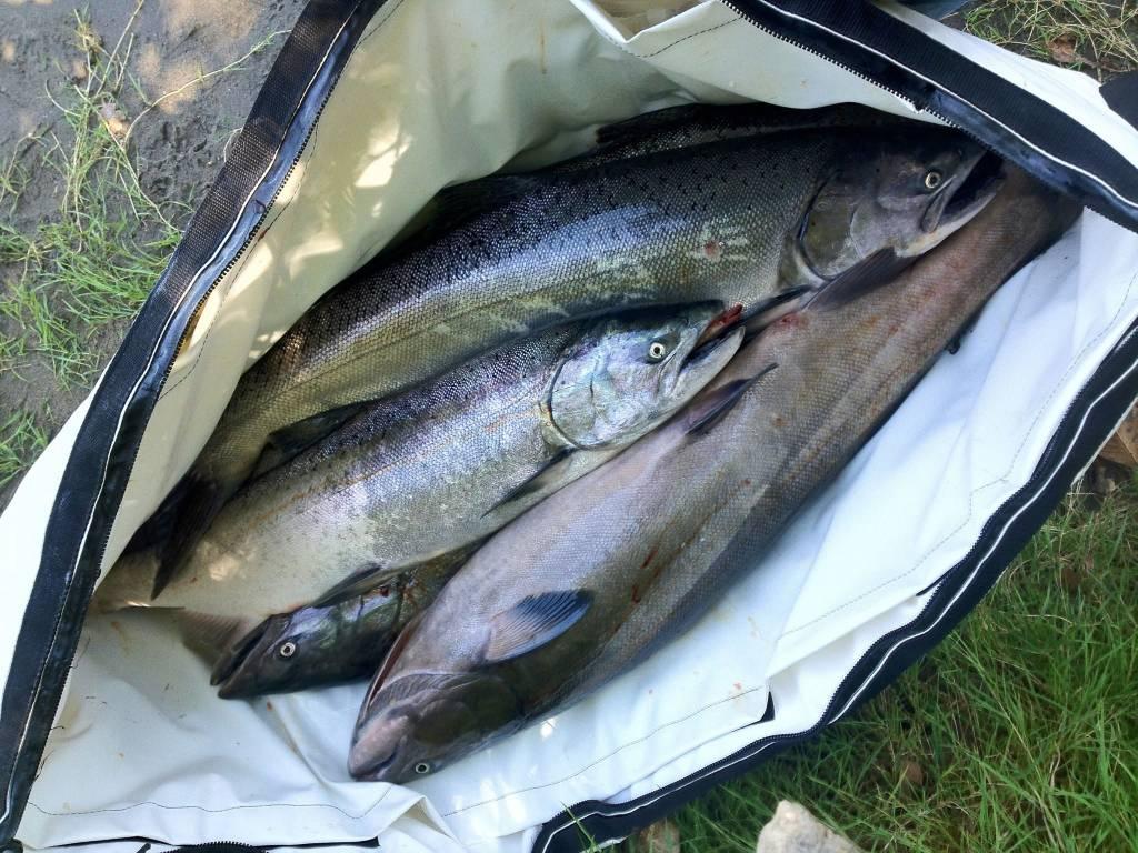 A nice sack o' salmon!