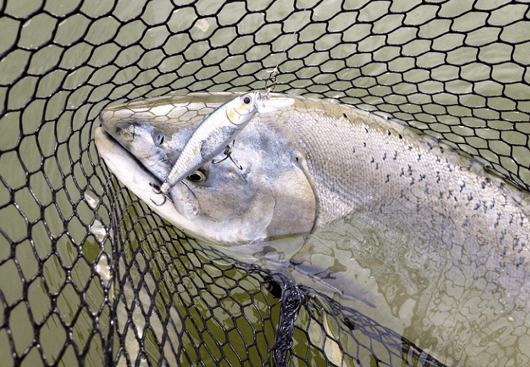 Springer on a rip bait