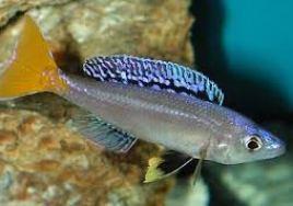 Cyprichromis cichlid