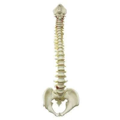 columna-vertebral