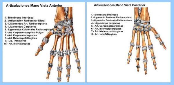 Articulaciones de la MANO  Anatoma