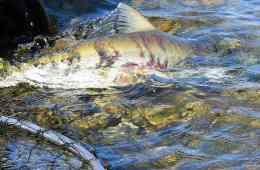 Fiskerejse - Chilliwack - Chum-sættes-ud