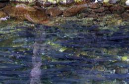 Fiskerejser og fiskeeventyr - masser af sølvlaks i chilliwack