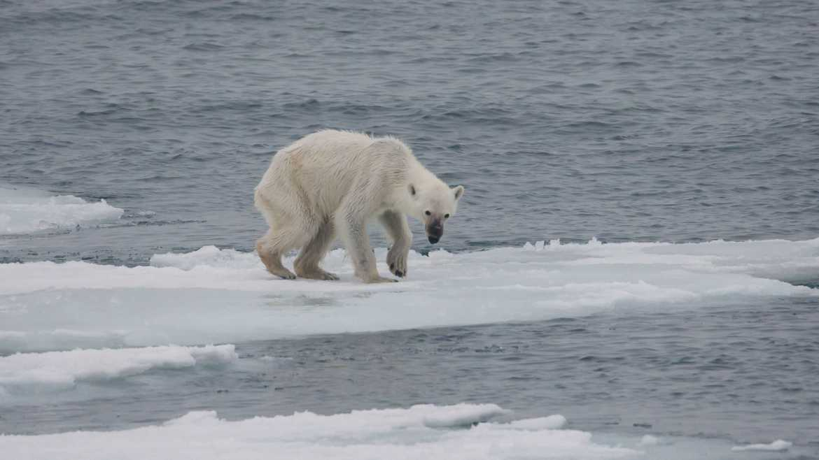 _Endangered Arctic Polar Bear_ By; Andreas Weith (WikiMedia)
