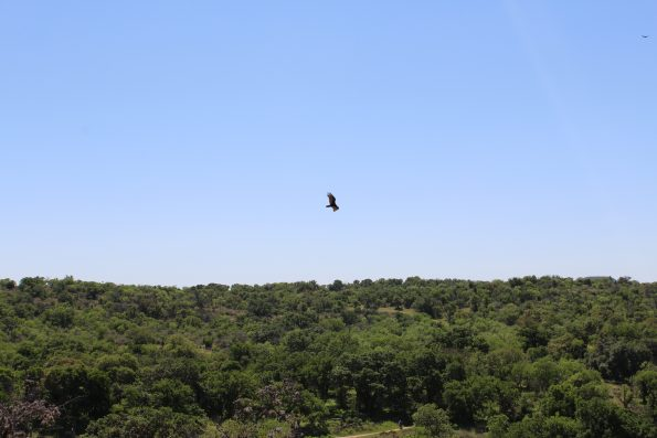 Hawk flying above Enchanted Rock