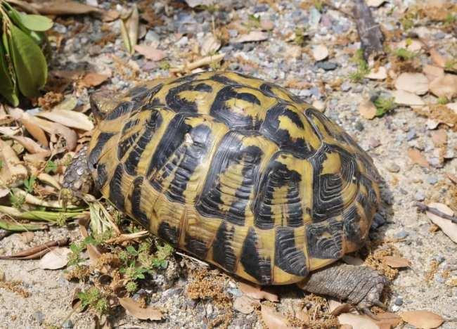 tartarughe di terra descrizione e caratteristiche meglio
