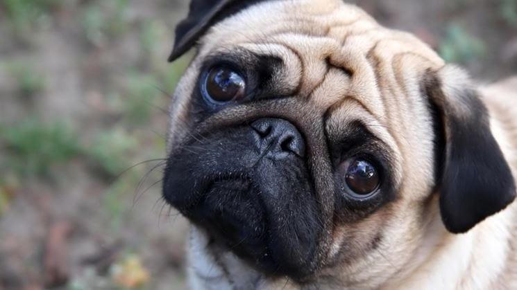 Le razze di cane da tenere in appartamento e in presenza di