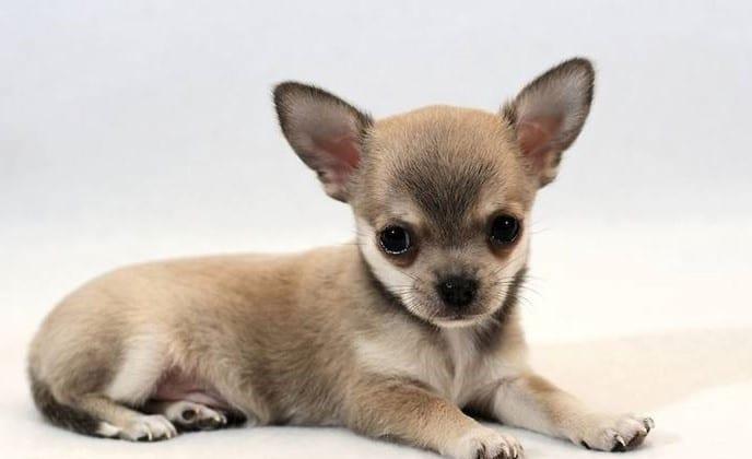 Cani di taglia piccola pelo corto frangia capelli for Nomi per cani taglia piccola