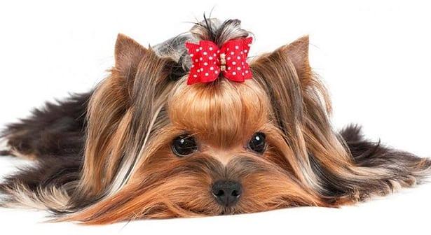 yorkshire-terrier5