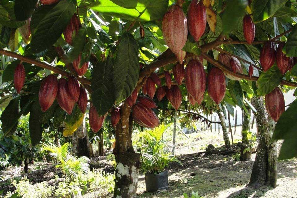 Cioccolato - La pianta del cacao