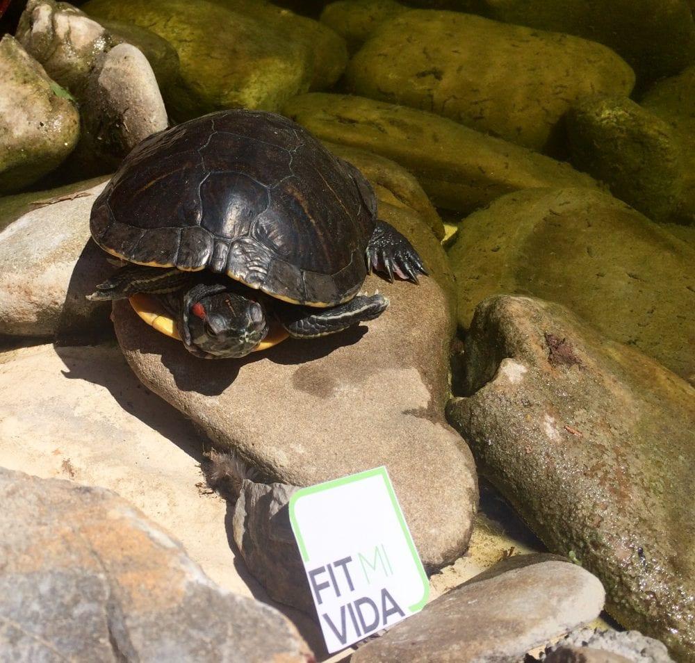 Tartaruga di terra fitmivida for Tartaruga di terra in casa