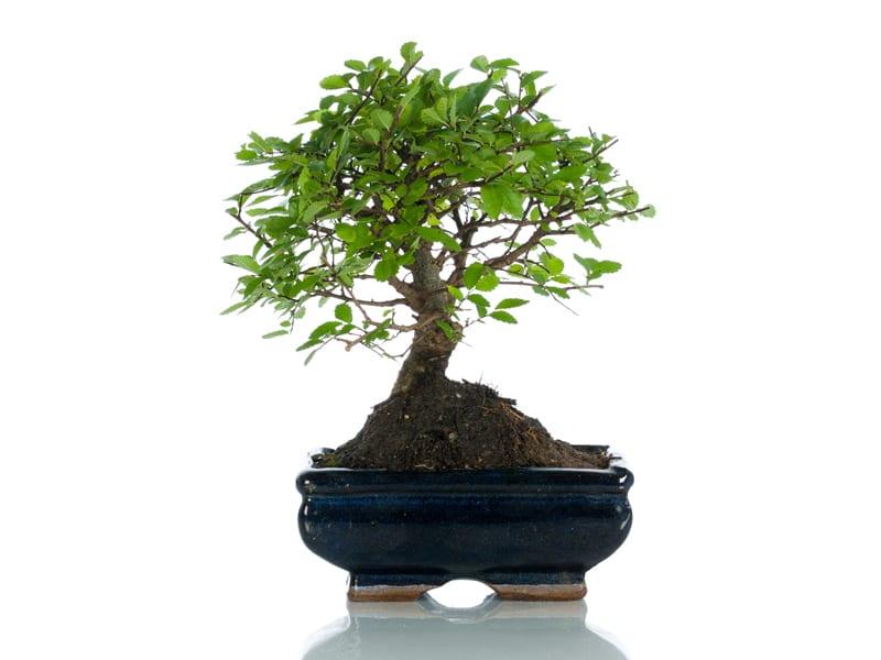 significato del bonsai