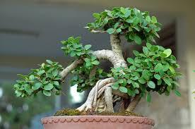 scegliere-bonsai
