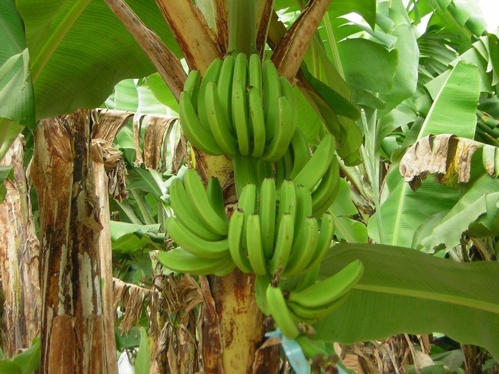 Pianta di banane