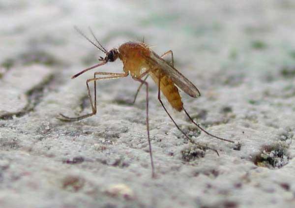 zanzara-comune