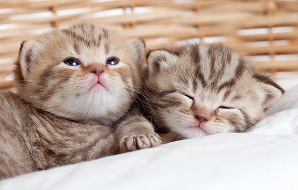 Gatti-cuccioli