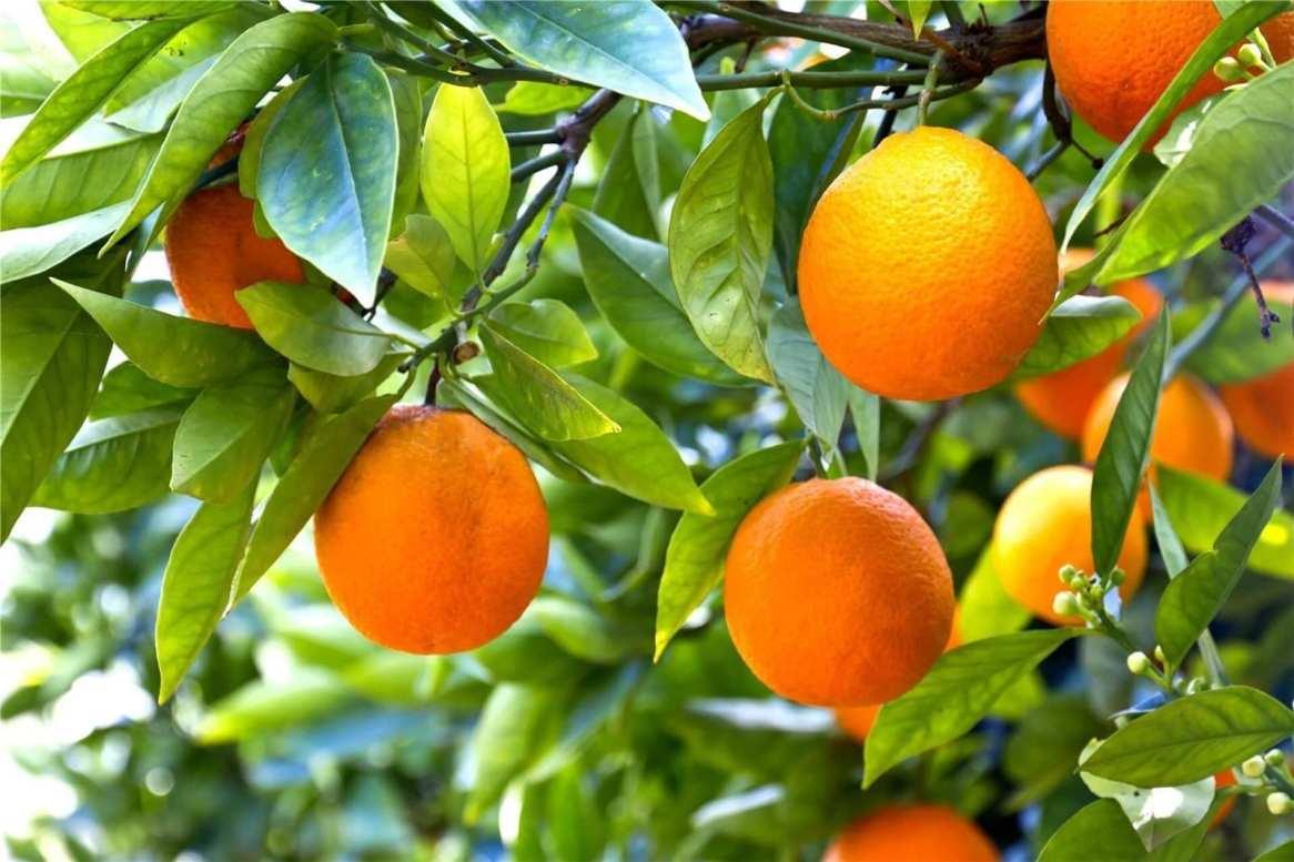 Tisane - Bevanda digestiva e balsamica - Arancio dolce