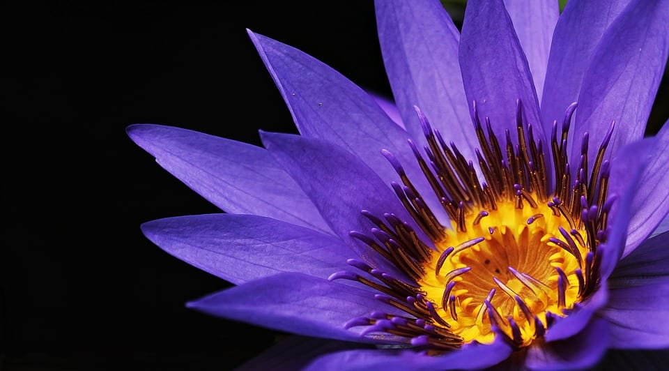 water-lily-2334209_960_720