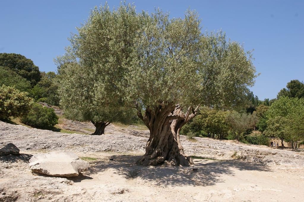 Olio di oliva - La pianta